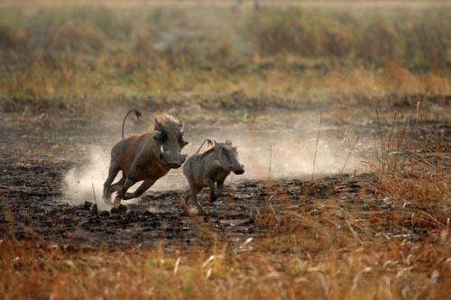 Warthog, Pendjari