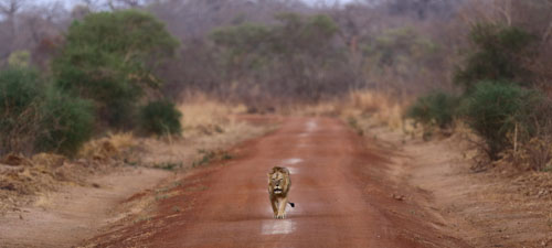 Lion, Pendjari