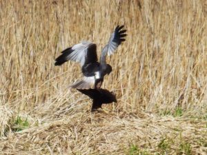 Mating marsh harriers, Strumpshaw Fen