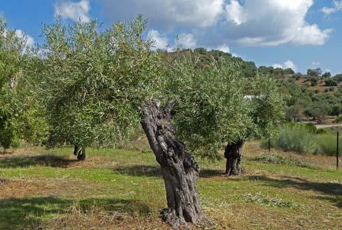 Olive tree, Spain