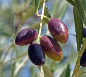 Olives, Spain
