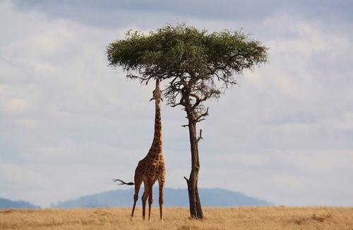 Giraffe eating acacia