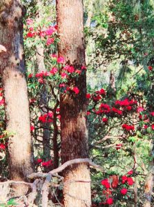 Rhododendron forest, Bhutan
