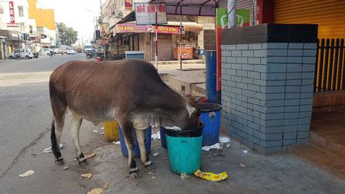 Cow in bin, India