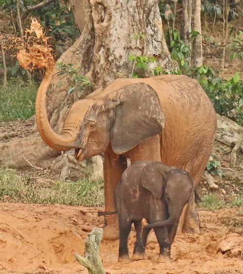 Forest elephants in the Central African Republic